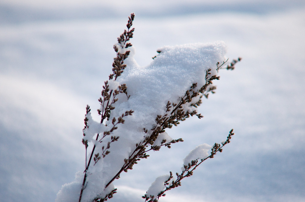Norwegian_winter_snow_covering_a_plant